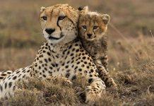 تحقیق درباره یوزپلنگ ها