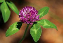 خواص و عکس گیاه شبدر قرمز