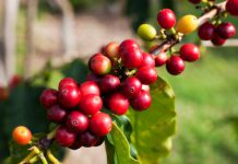 عکس میوه درخت قهوه