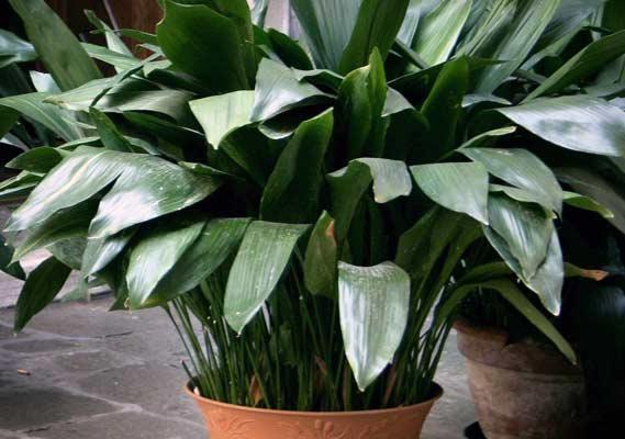 عکس گیاه برگ عبایی
