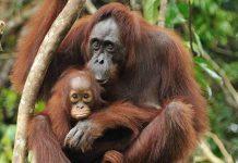 عکس اورانگوتان و بچه اش