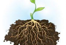 وظیفه ریشه در گیاه چیست؟